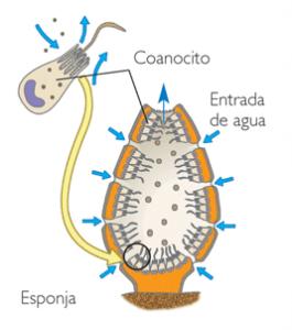 coanocito